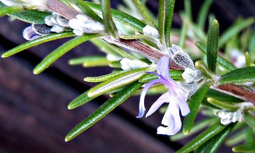 ruzmarin-cvijet-zacinsko-ljekovito-bilje-zacini-dom2-domnakvadrat