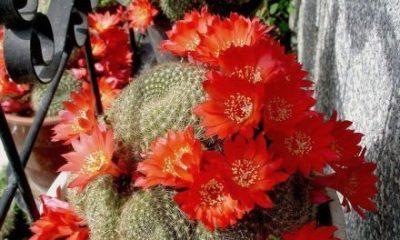 Kaktusi Dom2