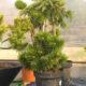bonsai-biljke-dom2-vrtni-centar-sestine