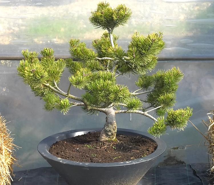 bonsai biljke crnogorica dom2 vrtni centar sestine