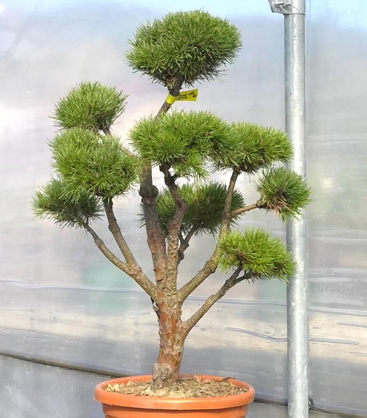 bonsai biljke dom2 vrtni centar sestine