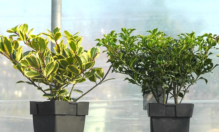sareni grmovi bozikovina jesenska sadnja dom2