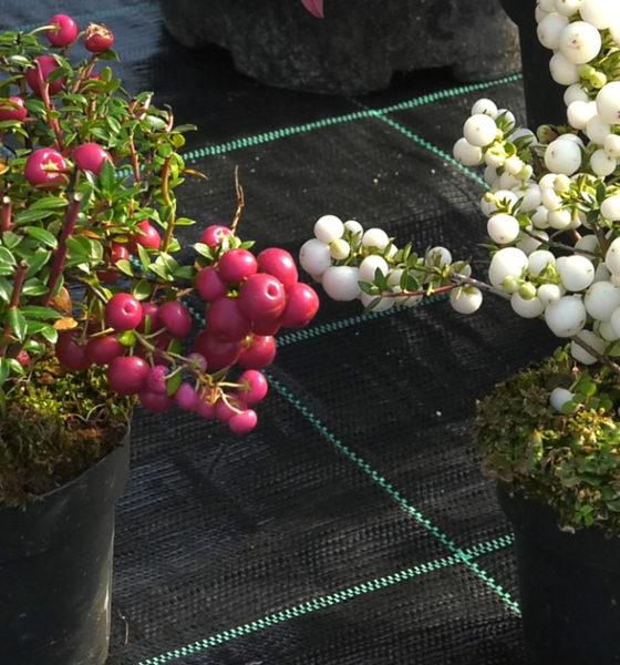 sareni-grmovi-jesenska-sadnja-dom2-vrtni-centar-sestine