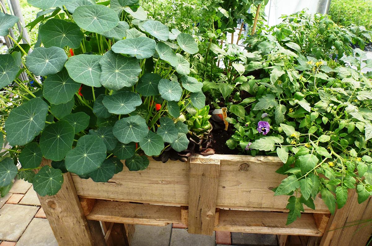 jestiva-kombinacija-rajcica-u-društvu-s-korisnim-biljkama-domnakvadrat-plantella