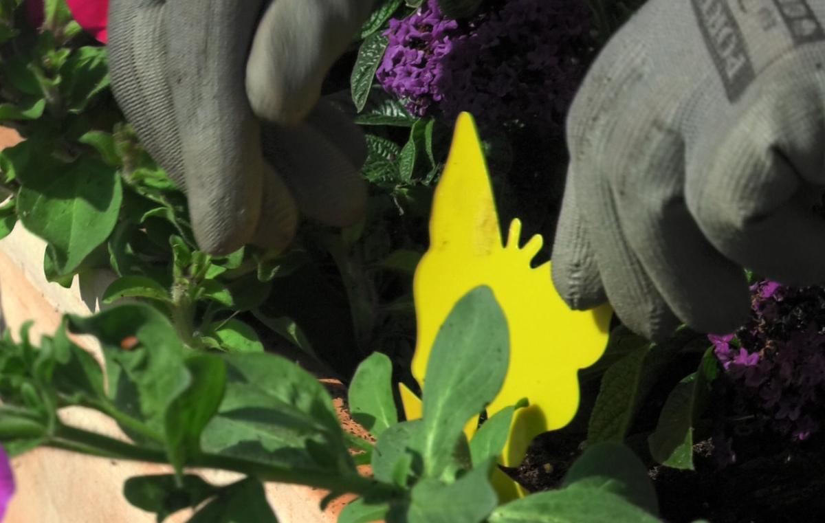 biljne-usi-leptirici-plantella-domnakvadrat