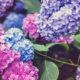raskosne-hortenzije-u-vrtu-dom2