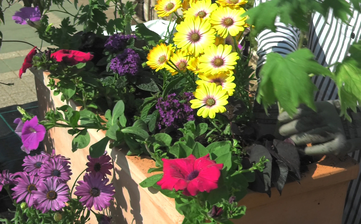sadnja-ljetnica-osteospermum-batat-petunija-kokotovac-suncanica-plantella-domnakvadrat