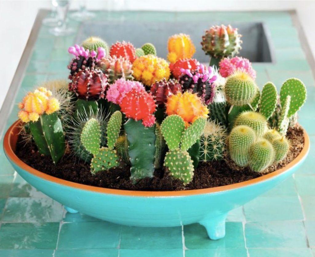 kaktusi-sukulenti-plava-zdjela-domnakvadrat