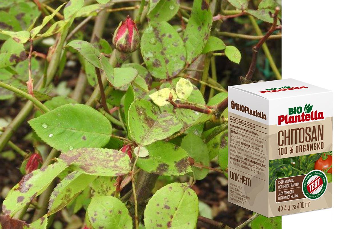 crna-pjegavost-ruze-plantella-domnakvadrat