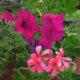 ruzicaste-petunije-odrzavanje-vrtni-centar-sestine-domnakvadrat