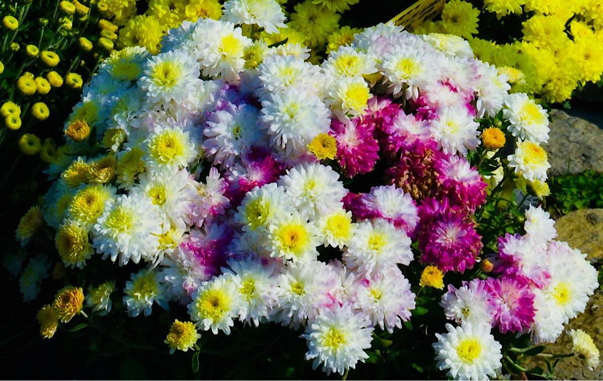 krizanteme-cvjetni-aranzman-groblje-svisveti-domnakvadrat