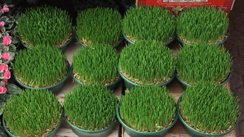 pšenica-sadnja-tegla-domnakvadrat
