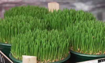 pšenica-domnakvadrat