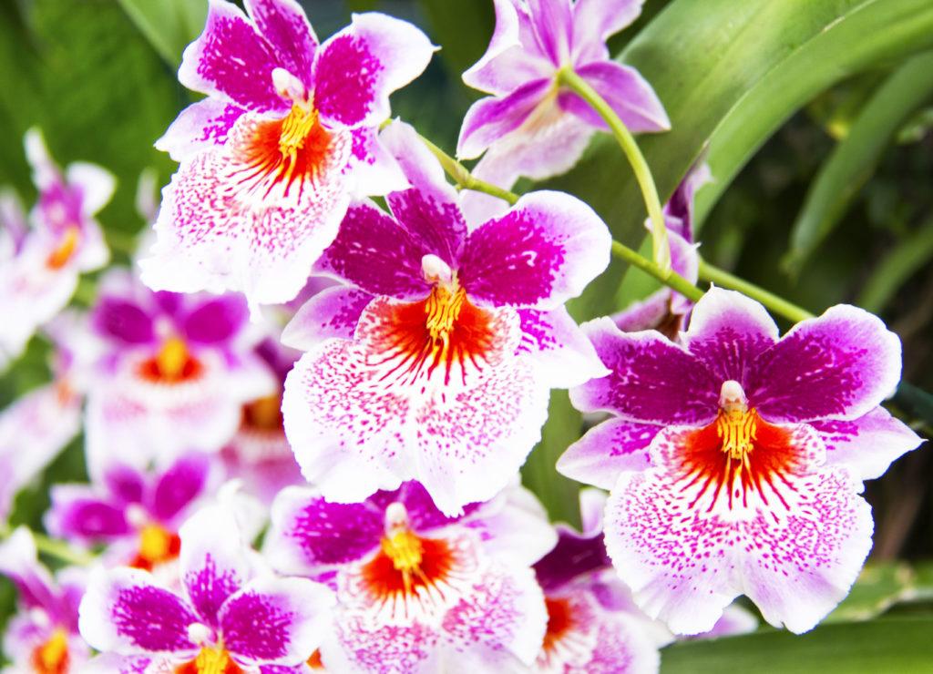 Miltonia-orhideja-plantella-domnakvadrat
