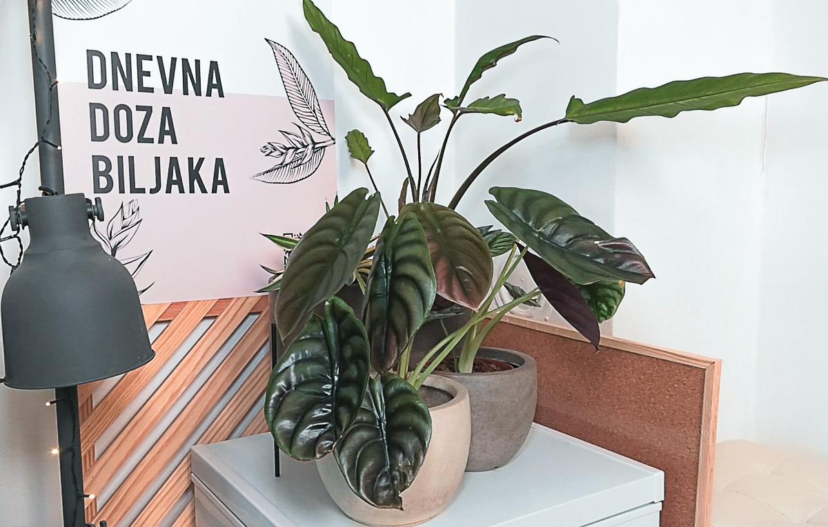 dnevna-doza-biljaka-biljka-domnakvadrat