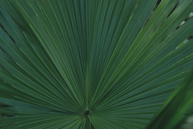 areca-palma-biljka-domnakvadrat