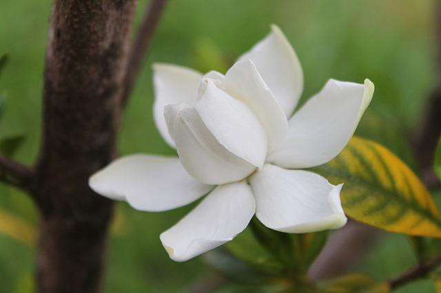 gardenia-biljka-domnakvadrat