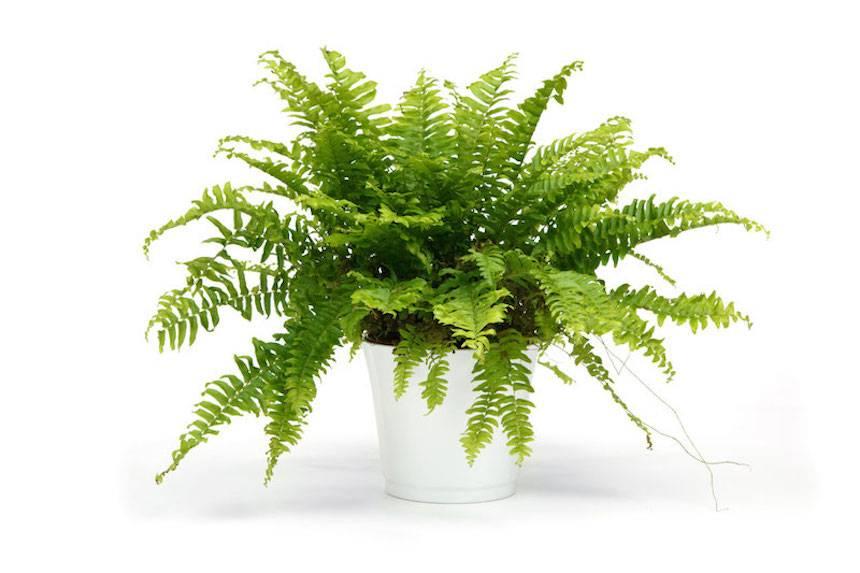 paprat-biljka-domnakvadrat