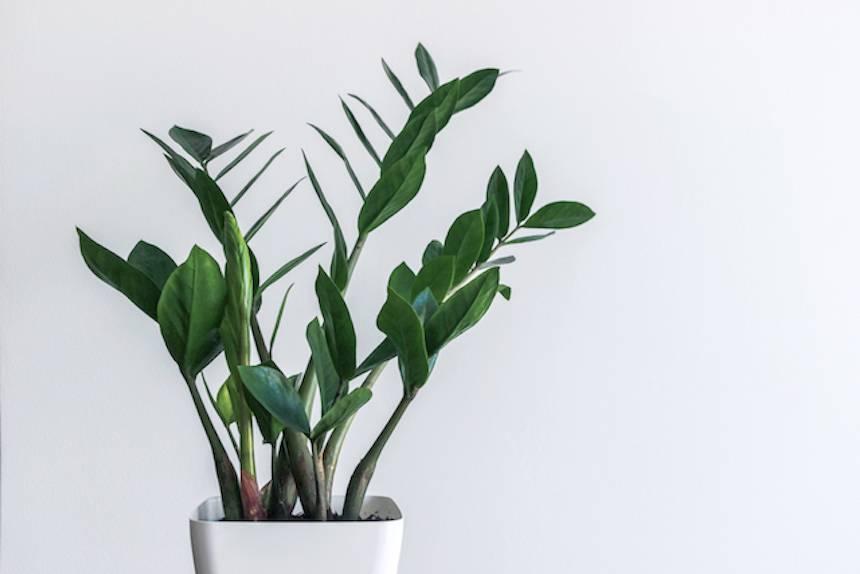vjecna-biljka-domnakvadrat