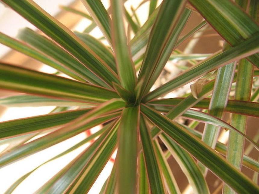 zmajevac-biljka-domnakvadrat
