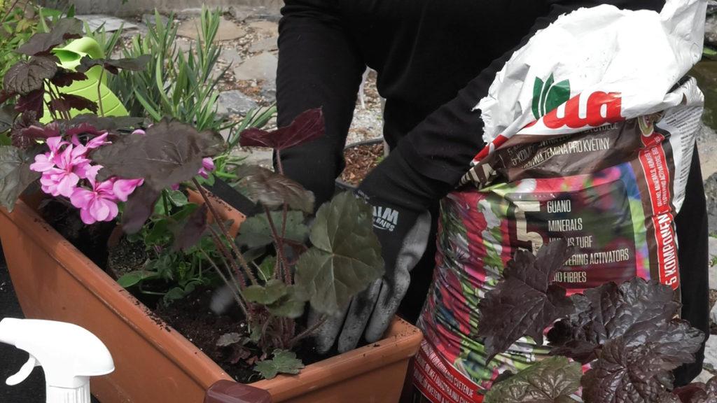 heuchera-pelargonia-sareni-vert-plantella-domnakvadrat
