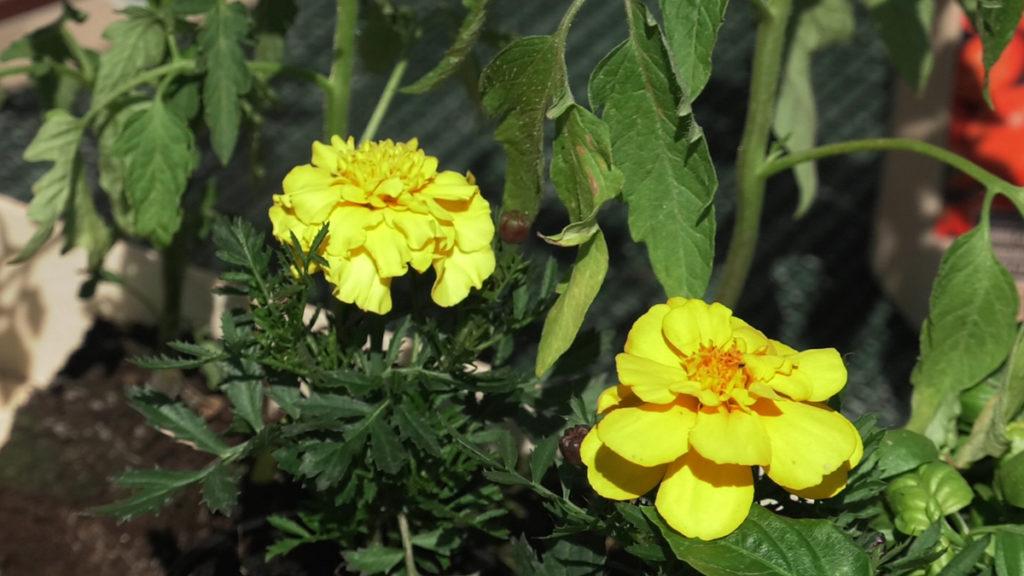 kadifa-sadnja-malog-vrta-plantella-domnakvadrat