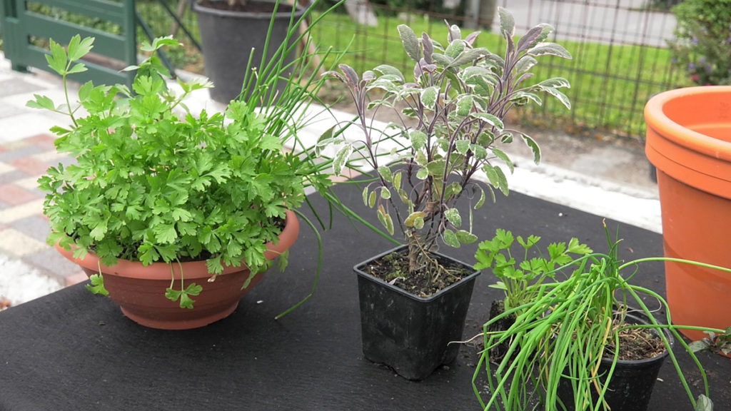 kadulja-persin-vlasac-zacinski-vrt-domnakvadrat