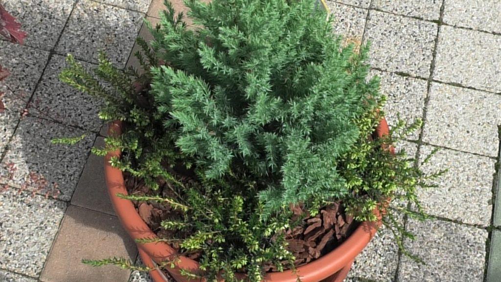 conica-erica-malc-jesenska-kombinacija-domnakvadrat-vrtni-centar-sestine