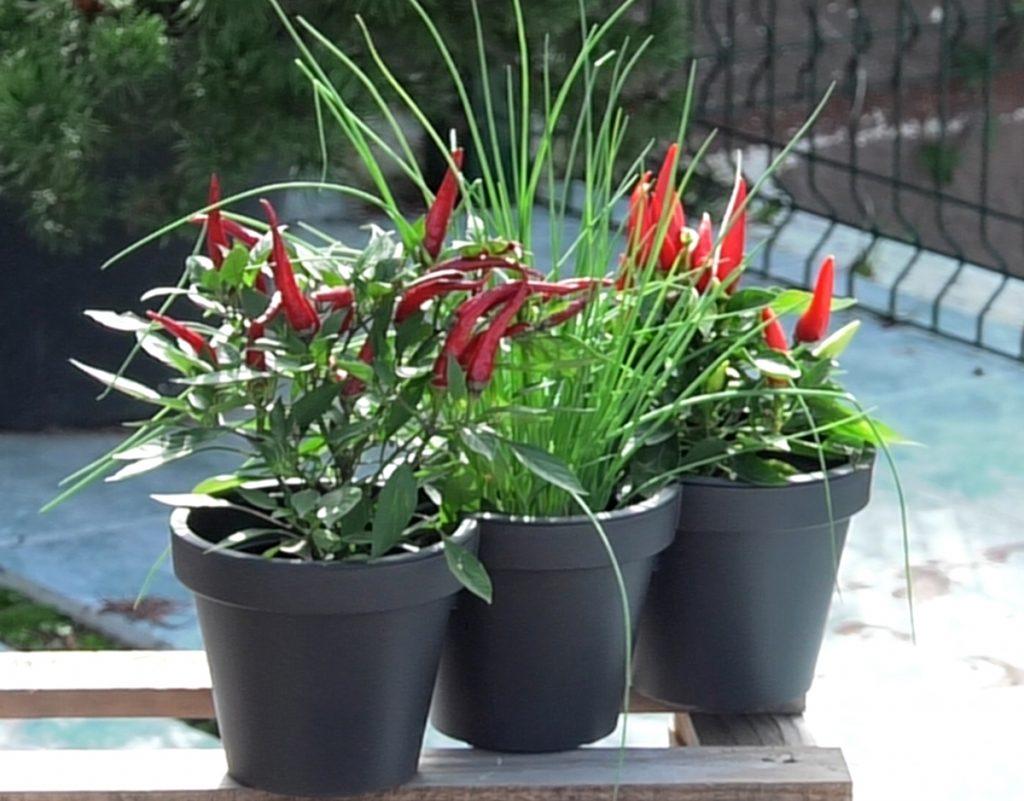 paprika-capiscum-vlasac-zacinsko-bilje-jesenska-kombinacija-domnakvadrat-vrtni-centar-sestine