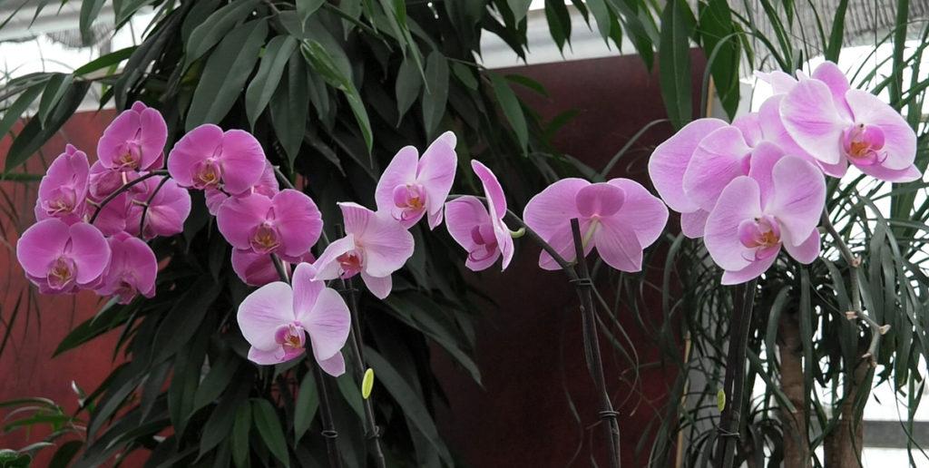 orhideje-phalenospsis-domnakvadrat