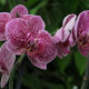 ruzicaste-orhideje-phalenospsis-domnakvadrat