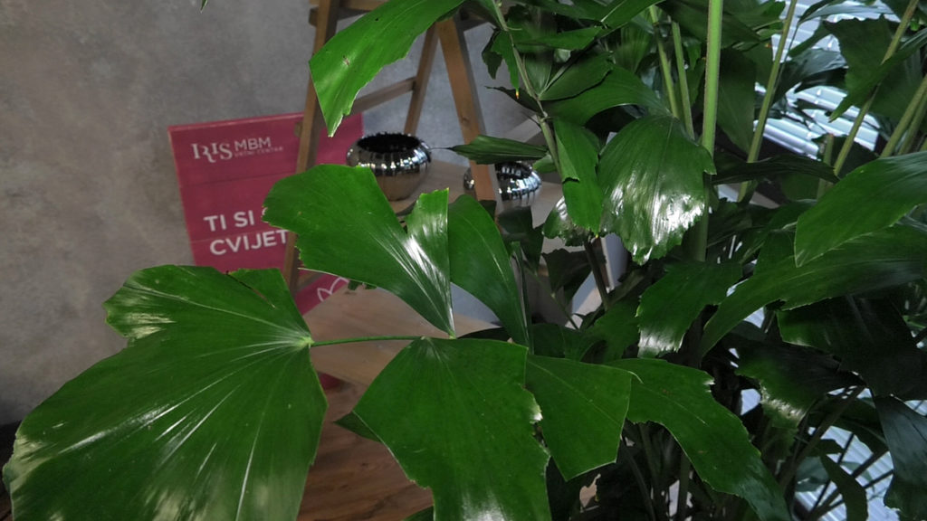 biljke-za-tamne-prostore-caryota-mitis-iris-mbm-vrtni-centar-domnakvadrat