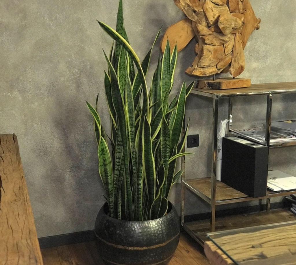 biljke-za-tamne-prostore-svekrvin-jezik-iris-mbm-vrtni-centar-domnakvadrat