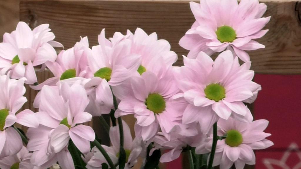 margarite-cvijeće-domnakvadrat