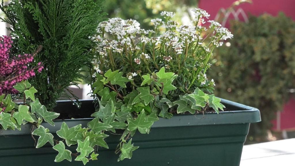 iberis-idealne-cvjetne-kombinacije-za-balkone-iris-mbm-vrtni-centar-domnakvadrat