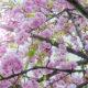 stablo-cvat-japanska-trešnja-iris-MBM-domnakvadrat