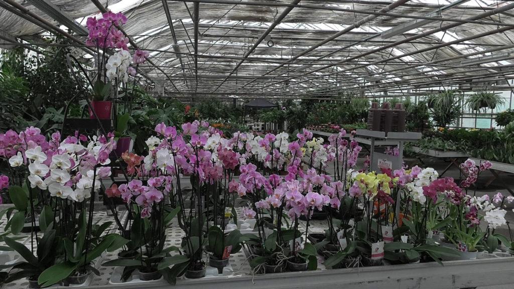 orhideje-u-iris-mbm-vrtnom-centru