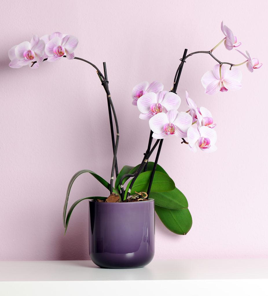 roza-orhideja-u-tegli-domnakvadrat
