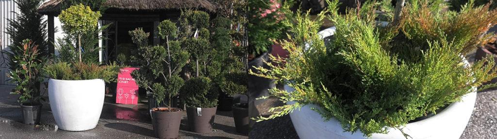 sadnja-podrasta-iris-mbm-vrtni-centar-domnakvadrat