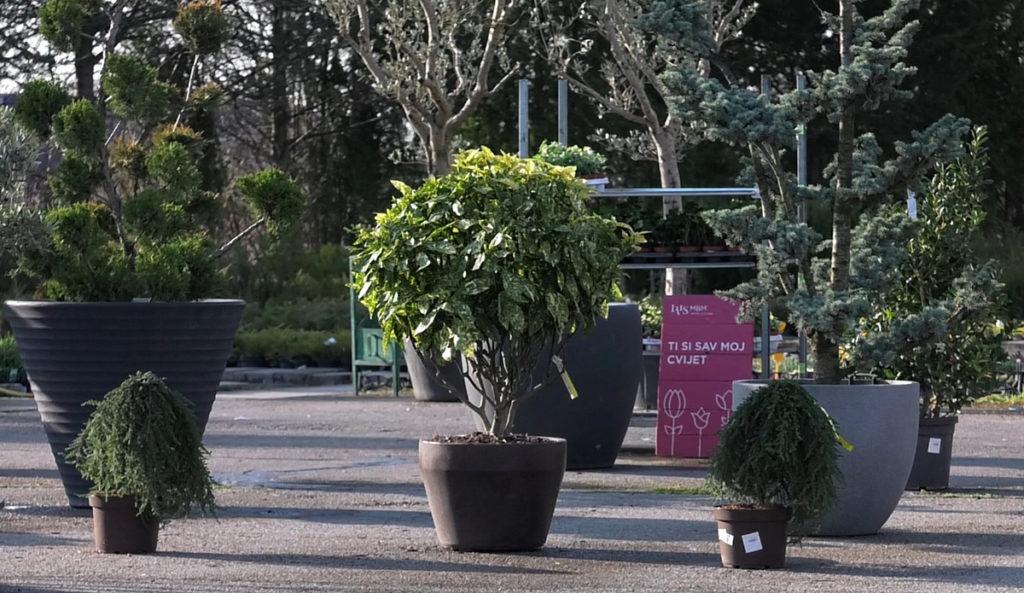 soliterne-biljke-pojedinacne-iris-mbm-vrtni-centar-domnakvadrat