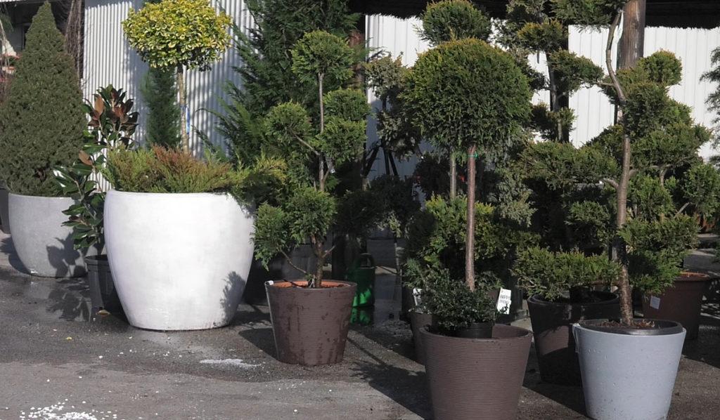 soliterne-biljke-pojedinacne-ulaz-u-dom-iris-mbm-vrtni-centar-domnakvadrat