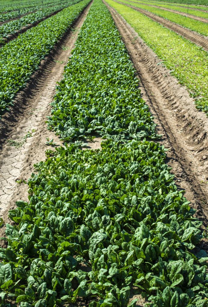 spinat-povrtnjak-domnakvadrat