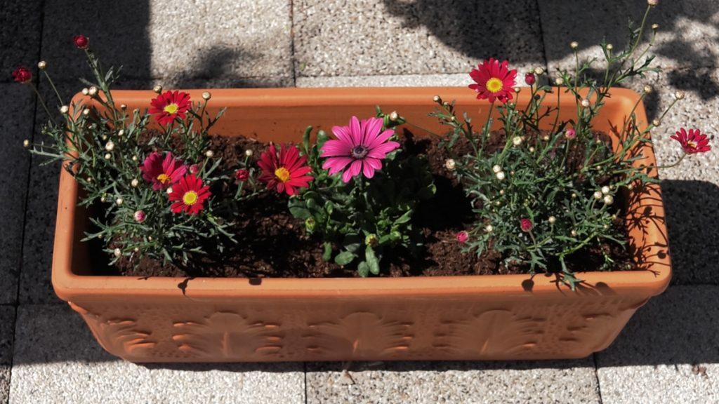 ivančice-i-afričke-ivančice-roza-ljetnice-vrtni-centar-šestine-domnakvadrat