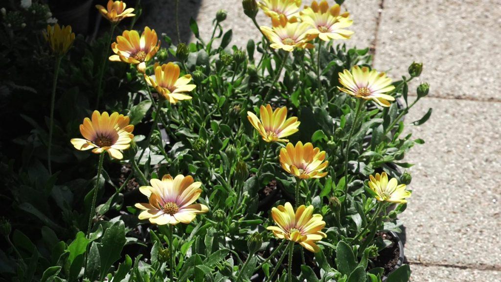 žute-ivančice-ljetnice-vrtni-centar-šestine-domnakvadrat