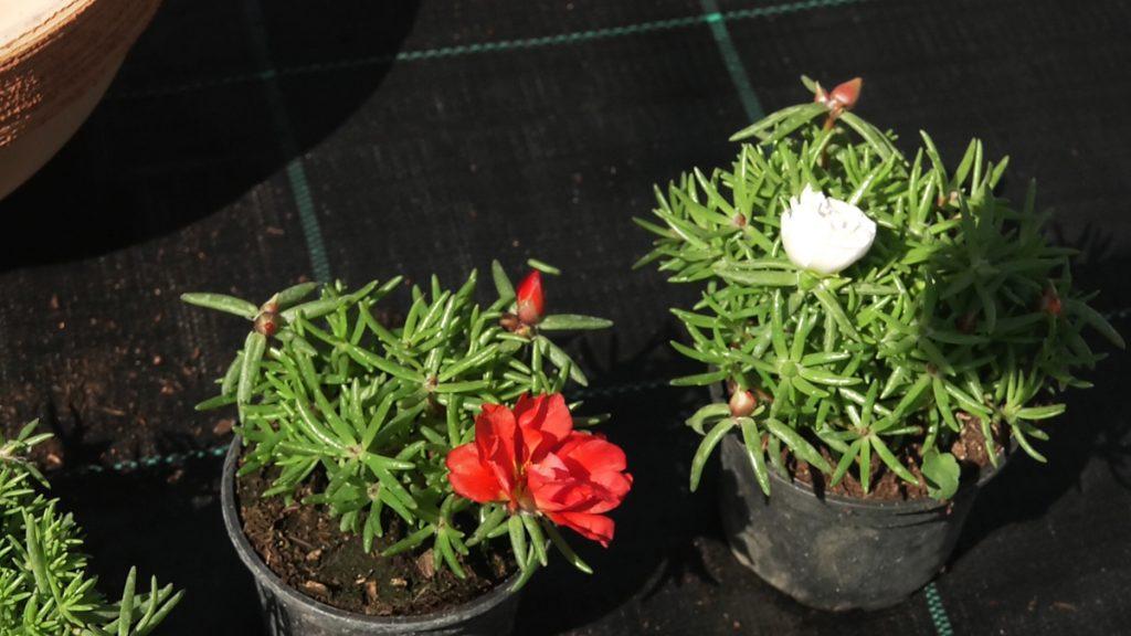 prkosi-dva-primjerka-ljetnice-vrtni-centar-šestine-domnakvadrat