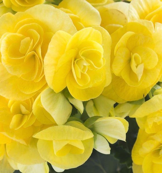 žuta-begonija-domnakvadrat