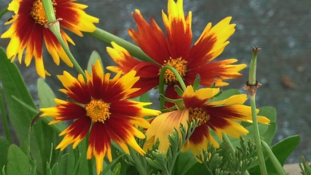 coreopsis-iris-mbm-vrtni-centar-domnakvadrat