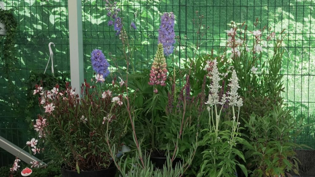 cvatuće-visoke-trajnice-iris-mbm-vrtni-centar-domnakvadrat