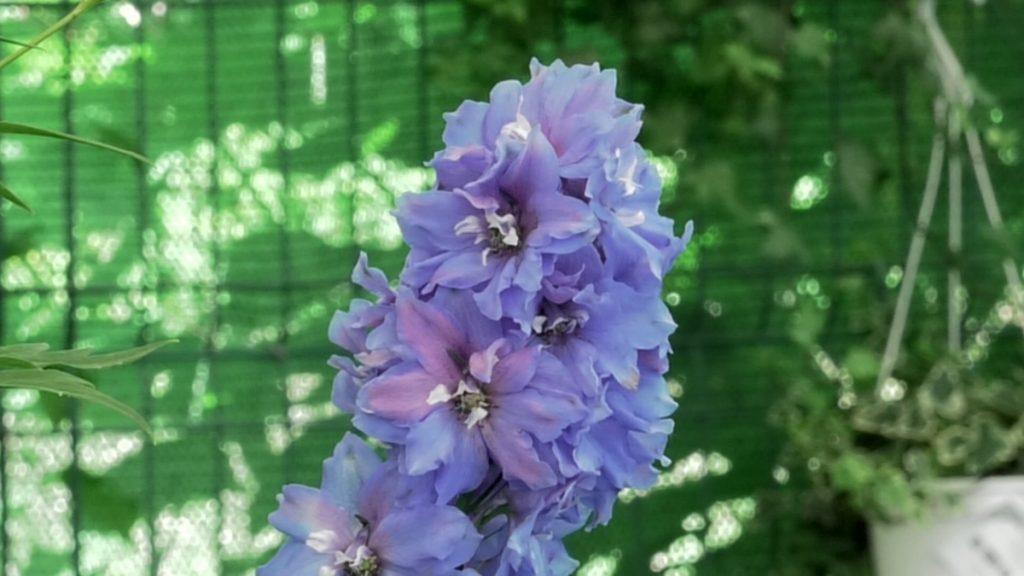 delfinium-cvijet-iris-mbm-vrtni-centar-domnakvadrat