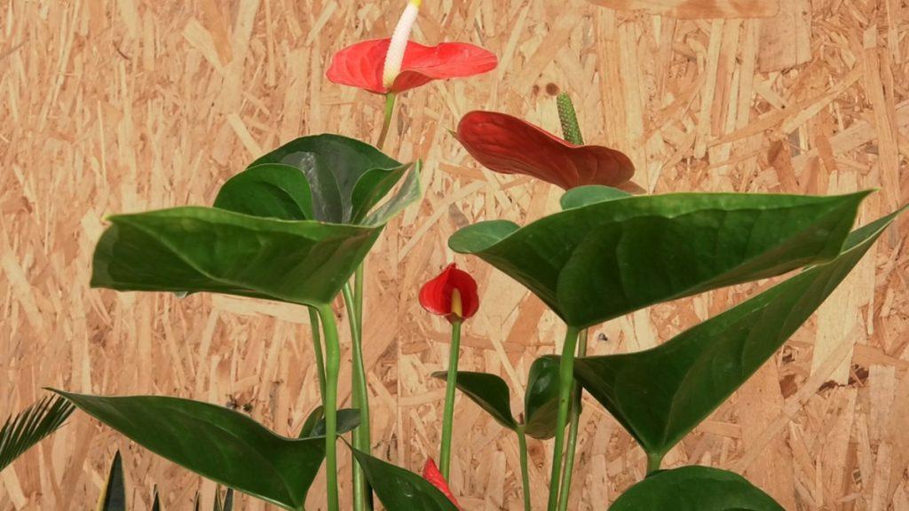 flamingov-cvijet-domnakvadrat